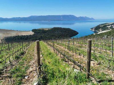 hit-dalmatia-zinfandel-vineyard-